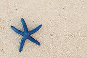 Blue sea star on sandy beach at Shangri-La Resort, Viti Levu Island, Fiji.