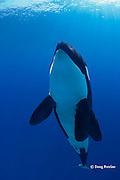 orca or killer whale ( Orcinus orca )