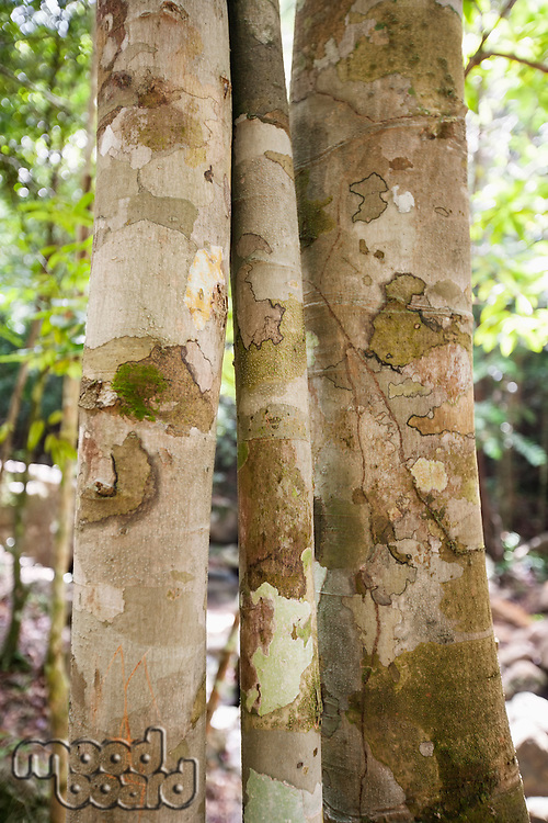 Close-up of tree trunks in forest; Koh Pha Ngan; Thailand