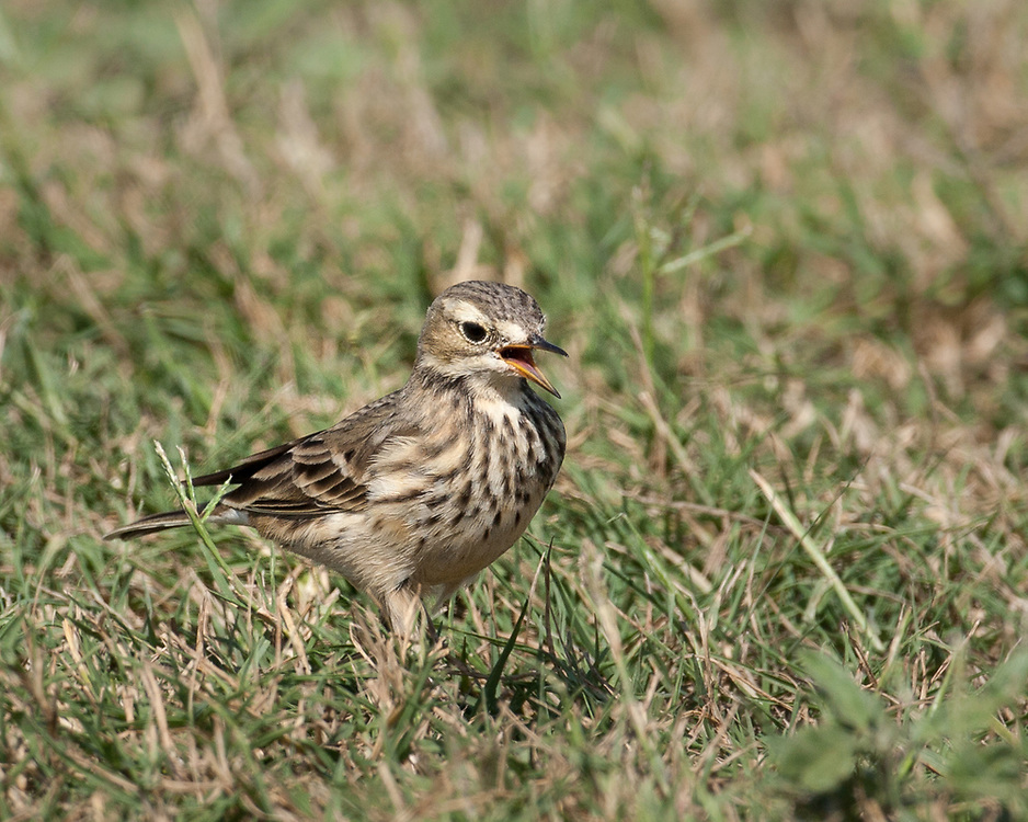 Anthus rubescens, Texas