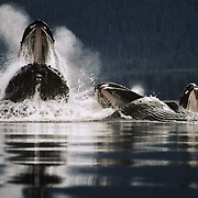 Humpback whales (Megaptera novaeanglia) cooperative feeding using a bubble net, Tenakee Inlet, Southeast Alaska, USA.<br />