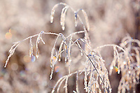 Ice crystals encase grasses in field near Kodiak, Alaska