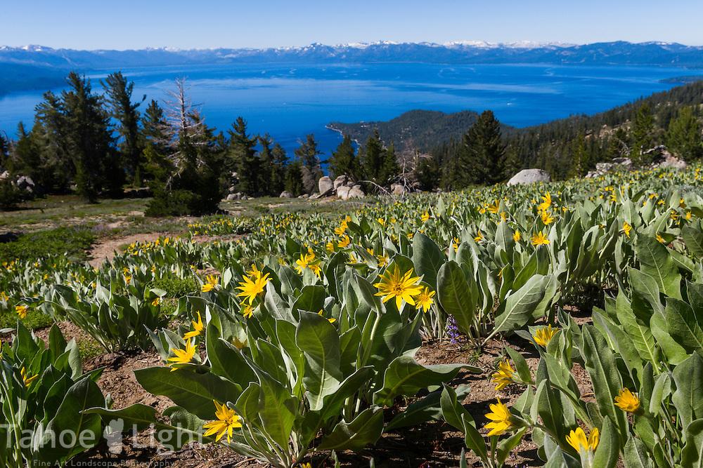 Wildflowers overlooking Lake Tahoe from Rose Knob Peak in Incline Village, Nevada. This is along the Tahoe Rim Trail between Tahoe Meadows and 267.