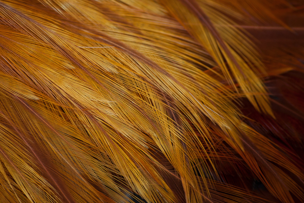 Close-up on golden feathers