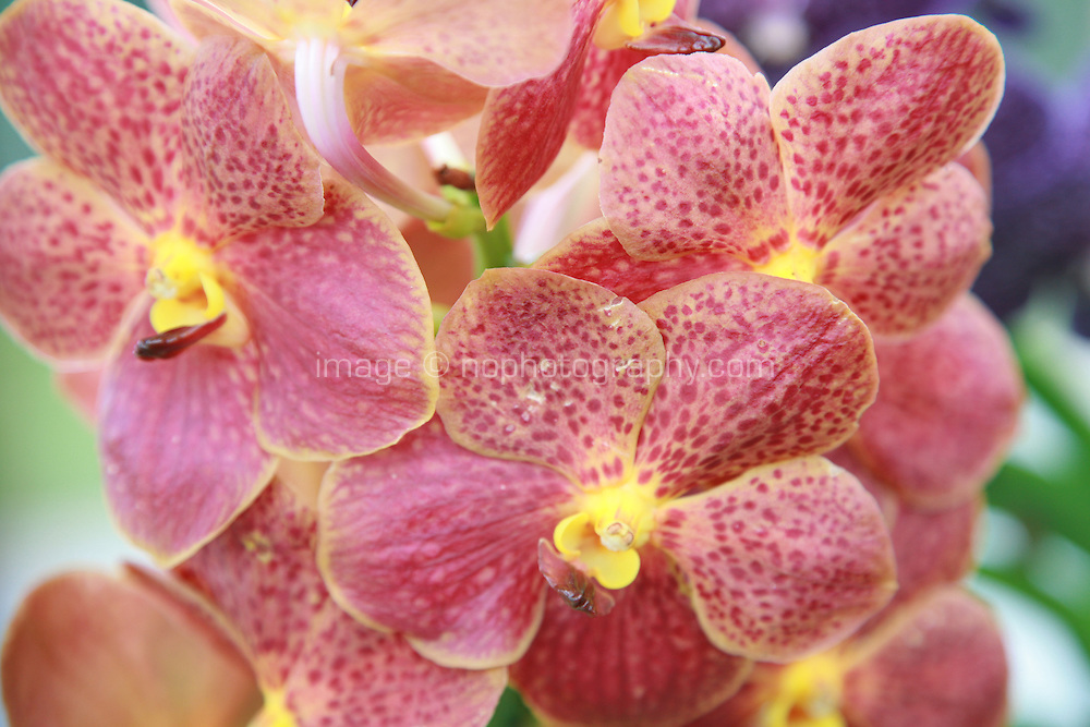 Close up of pink and yellow Orchid plant flowers. Photography by Doreen Kennedy
