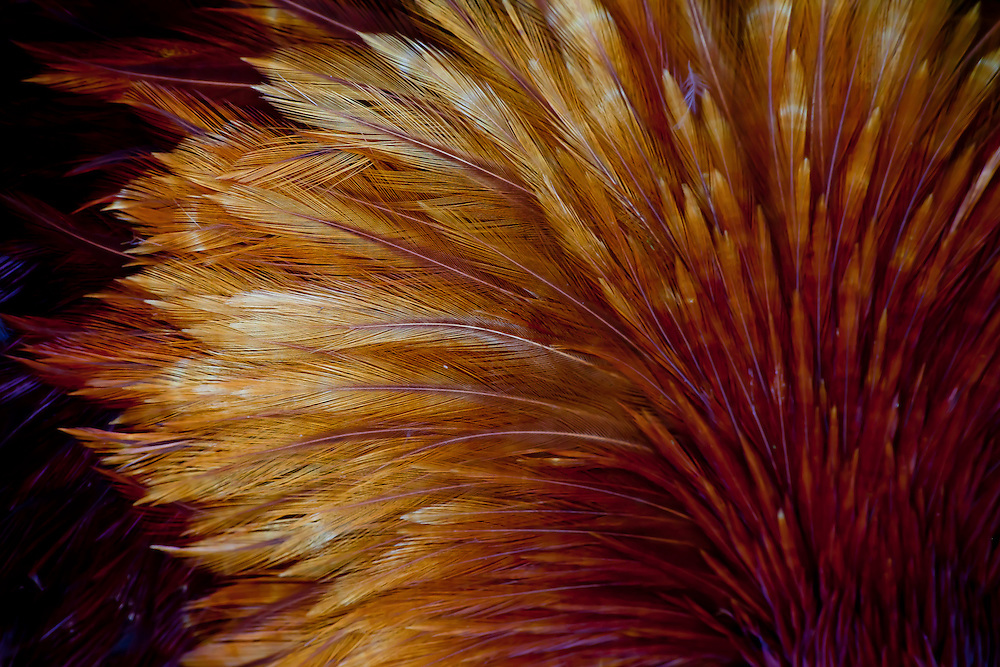 Feathers of a rooster fan out in a colorful plume