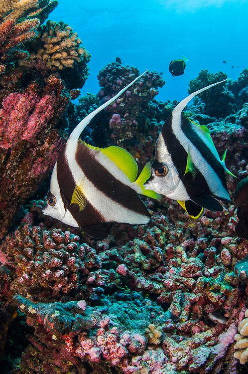 A pair of Schooling Bannerfish, Heniochus diphreutes, swims in Tiputa Pass, Rangiroa Atoll, French Polynesia