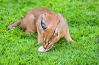 Caracal at the Emdoneni Cat Rehabilitation Centre in South Africa, which purpose is to care for wild cats.