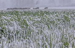 THEMENBILD - Neuschnee auf einem Maisfeld, aufgenommen am 05. Mai 2019, Kaprun, Österreich // Fresh snow on a cornfield on 2019/05/05, Kaprun, Austria. EXPA Pictures © 2019, PhotoCredit: EXPA/ Stefanie Oberhauser