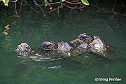 green sea turtles, Chelonia mydas, mating in mangroves, two males on one female, Galapagos Islands, Ecuador, ( Eastern Pacific )