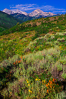 Wildflowers, Rim Creek Trail, Snowmass Village (Aspen), Colorado USA.