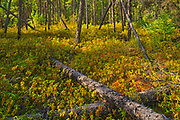 Black spruce trees and labrador tea in the Boreal forest <br />Pisew Falls Provincial Park<br />Manitoba<br />Canada