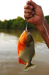A piranha in Los Llanos, Venezuela