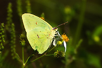 Cloudless sulphur in early fall at the St. Marks National Wildlife Refuge.