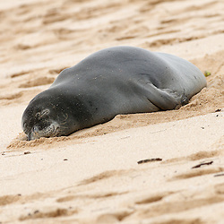 A Hawaiian Monk Seal naps on the beach at Rocky Point, Oahu.