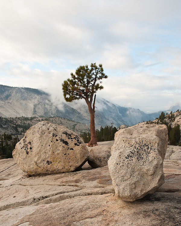 Yosemite, California.<br /> Although it is officially sunrise, it has a ways to go before breaching the Sierra crest, behind me.  The morning mists still rise, and an uncertain day's clouds move eastward to where I stand, at Olmstead Point looking into Tenaya Canyon.  Here, erratics frame a Jeffery's pine, placed as if by human hands in almost perfect harmony.