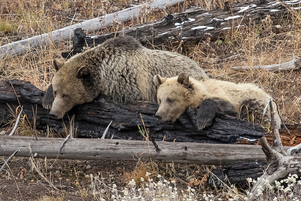 Like a pair of bookends, the grizzly sow, Raspberry, and her yearling cub, Snow, enjoy some downtime in their favorite meadow after foraging all morning for food.