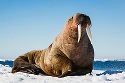 A walrus laying on an ice floe (Odobenus rosmarus)  ,Svalbard, Norway