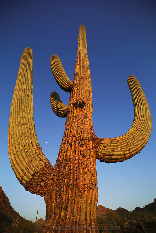 Saguaro cactus in the Arizona desert (Carnegiea gigantea) near Tucson, Arizona, USA.