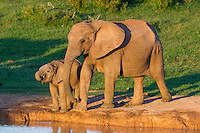 African Elephant mother and calf drinking from a waterhole during late afternoon, Addo Elephant National Park, Eastern Cape, South Africa