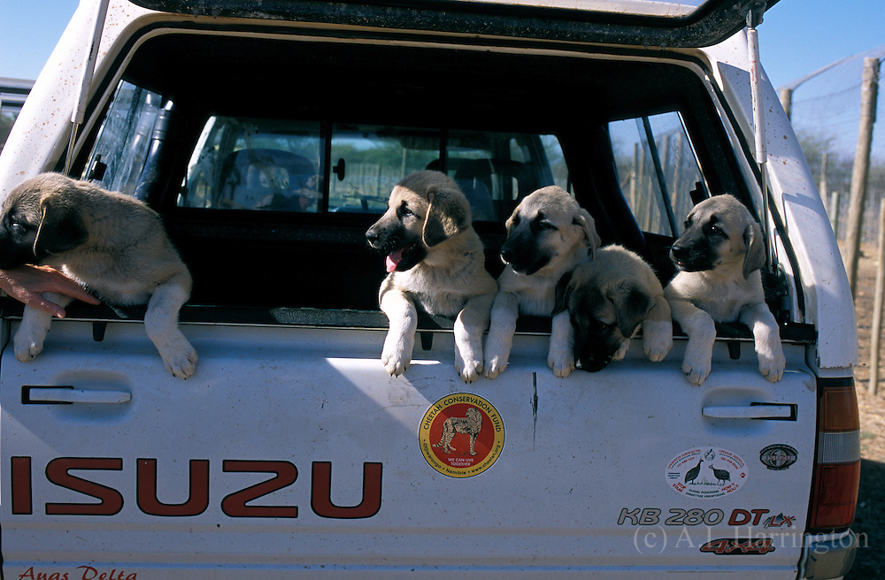 Anatolian dsheppard dog puppies. Namibia