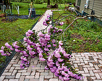 Downed Rhododendron. Image taken with a Nikon 1 V3 camera and 10-30 mm VR lens