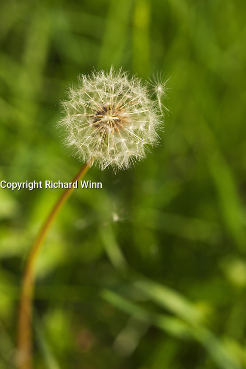 View of the seedhead of  a dandelion flower, using selective focus, showing the stem and head.