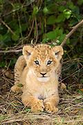 Lion<br /> Panthera leo<br /> 5 week old cub(s)<br /> Masai Mara Reserve, Kenya
