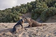 Australian Sea Lion, Kangaroo Island, Australia