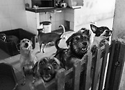Some of the rescued dogs peak over a gate at the shelter.