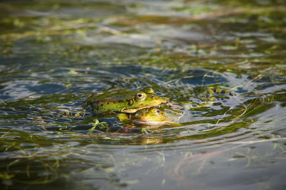 Excited edible frogs (Pelophylax kl. esculentus) getting into mating season. Ätlig groda.<br /> Location: Värpinge, Lund, Skåne, Sweden