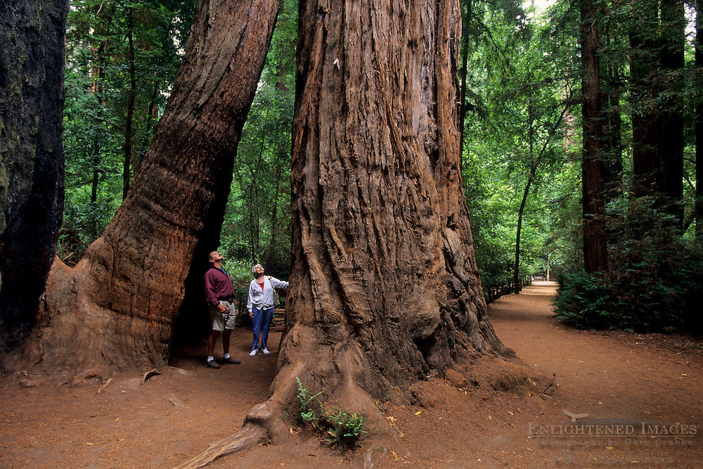 Tourists looking up at tall redwood trees in Henery Cowell State Park, near Felton, California