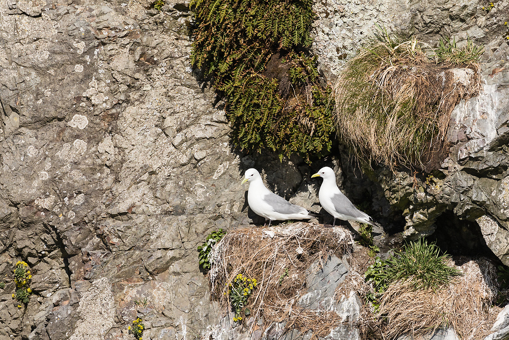 Black-legged Kittiwakes guarding nest on clif in Copper River Delta in Southcentral Alaska. Spring. Morning.