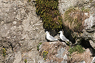 Black-legged Kittiwakes guarding nest on clif in Copper River Delta in Southcentral Alaska. Spring. Morning.