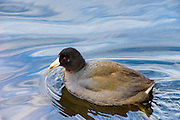 American coot swimming
