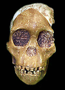 First discovered by anthropologist Mary Leakey on July 17, 1959, at Olduvai Gorge, Tanzania, the well-preserved cranium (nicknamed 'Nutcracker Man') was dated to 1.75 million years old
