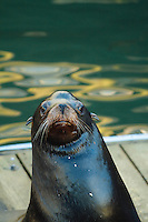 Sea lions on dock in Newport, OR