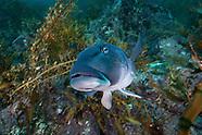 Parapercis colias (Blue cod)