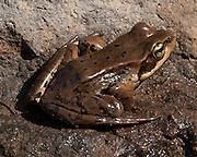 A frog in Spray Park, Mount Rainier National Park, Washington, USA.