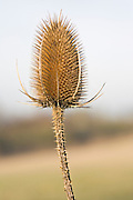 Teasel thistle, Gloucestershire, United Kingdom.
