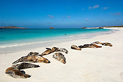 Galapagos sealions (Zalophus wollebaeki)<br /> Gardner Bay, Española (Hood) Island. Galapagos Islands<br /> ECUADOR.  South America