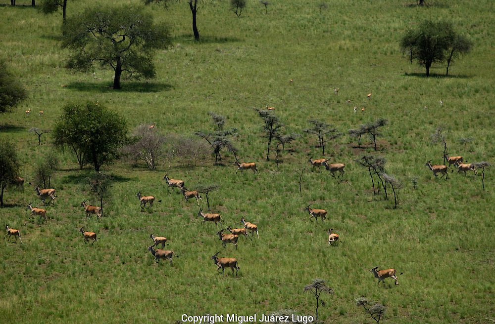 The Boma-Jonglei Landscape is home to some of the most spectacular and important wild life populations of ungulates, including  perhaps the largest wildlife migration in the world. An annual migration of  antelope called the white-eared kob may rival the famous wildebeest migration of the Serengeti. (PHOTO: MIGUEL JUAREZ).