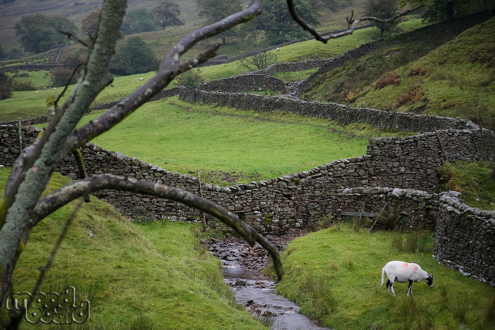 Sheep on pasture in Yorkshire Dales Yorkshire England