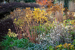 Seedheads in an autumn border at Pettifers. Euphorbia wallichii - Spurge -  and Lunaria annua - Honesty.