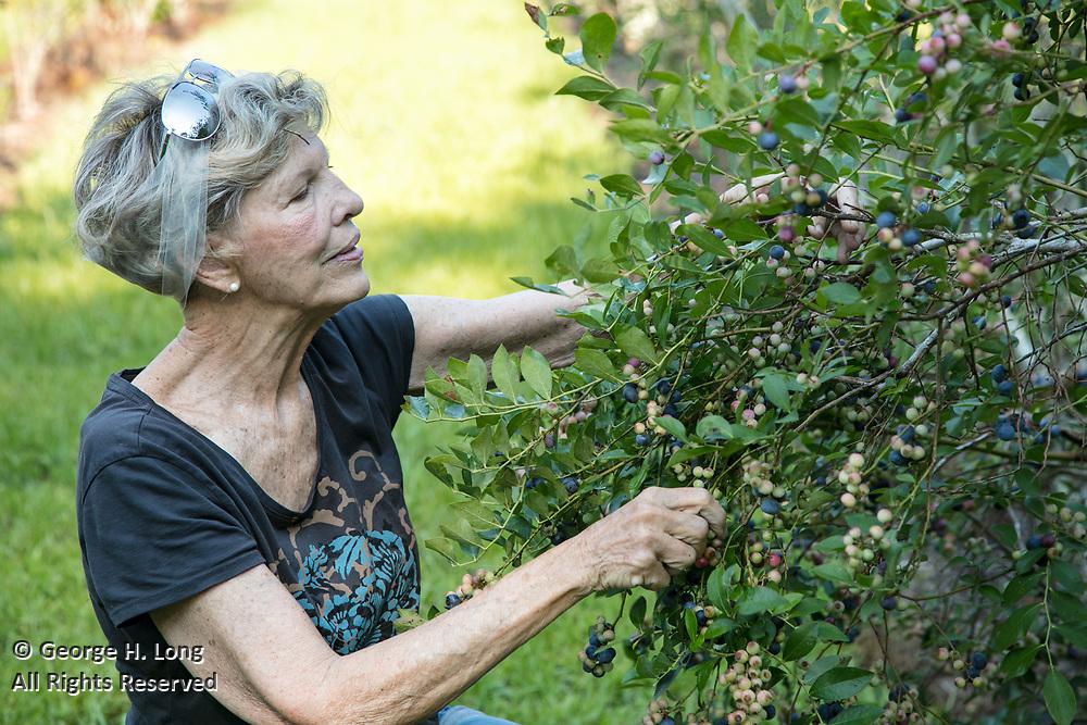 Heidi Hampton picks at Sunhillow Berry Farm in Pearl River, Louisiana