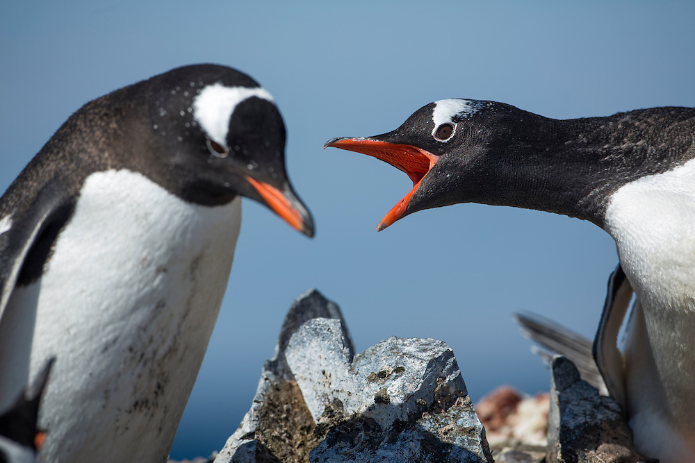 Antarctica, South Shetland Islands, Gentoo Penguins (Pygoscelis papua) pecks at rival in rookery Livingstone Island