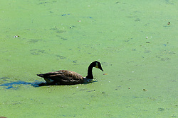 © Licensed to London News Pictures. 27/08/2019. London, UK. A duck swims in Finsbury Park lake in north London covered in green Algae caused by recent hot weather in the capital. Photo credit: Dinendra Haria/LNP