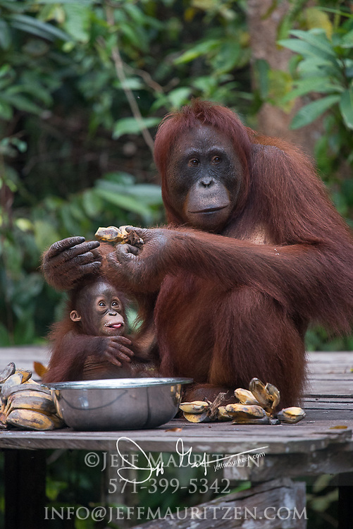 A rehabilited Bornean orangutan and its infant eats bananas at a feeding station in Tanjung Puting National Park, Indonesia.