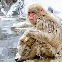 Snow Monkey grooming baby.