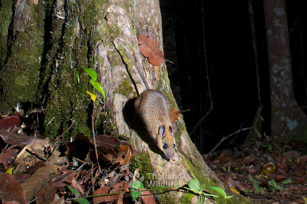 The long-tailed giant rat (Leopoldamys sabanus) is a species of forest rodent in the family Muridae. It is found in Bangladesh, Cambodia, Indonesia, Laos, Malaysia, Thailand, and Vietnam.